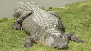 Wzrasta liczba krokodyli. Izraelczycy boją się o swoje bezpieczeństwo