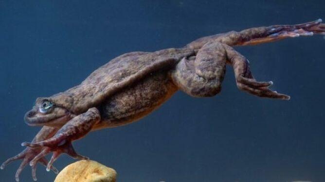 Romeo, przedstawiciel żaby wodnej Sehuencas (Robin Moore, Global Wildlife Conservation)