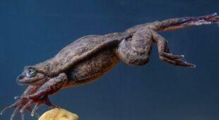 Romeo, przedstawiciel żaby wodnej Sehuencas
