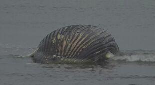 Usuwali ciało długopłetwca oceanicznego