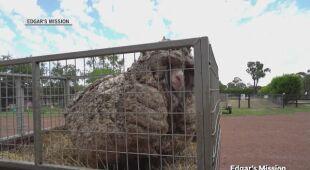Owca o imieniu Baarack nie była strzyżona od lat